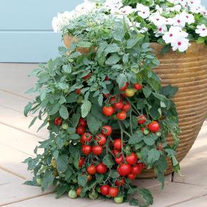 Tomat - tumbler - 10frø En hængende sort der giver et stort udbytte af søde og velsmagende 3cm store tomater. Det er en livlig plante der egner sig godt til store krukker, hængepotter og høje potter.  Har fået op til 3kg tomater fra en plante. Dette er ikke en f1 sort det et en af de frøægte  sorter, derfor bliver den en smule højere før den begynder at hænge. Egner sig godt til en solrig placeringer på terrassen. Skal forkultiveres i Potter indenfor i april og ud slut maj og nattefrosten er ovre. Frøene er pakket i kaffefiltre så de kan ånde.  Gratis forsendelse med b-post. Betaling med paypal, konto overførsel eller mobilepay.