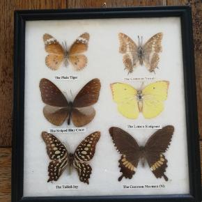 Fine sommerfugle billeder med rigtige sommerfugle. Prisen er for begge