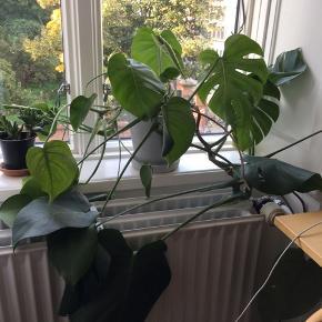 En dejlig plante, der har vokset sig stor og stærk. Afhentes på Nørrebro. Potte følger med.