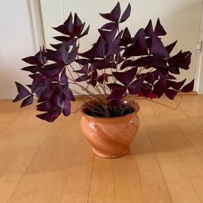 Flot stureplante. Sommerfugle kløver (Oxalis triangularis).   Urtepotteskjuler 19,5 cm i diameter Planten er 43 cm høj (Jeg har også mindre udgaver af planten, hvis det interesserer. Skriv ved interesse)   Urtepotte + plante sælges for 110,- kr Kun plante 49,-kr   Det er en meget nem plante, som ikke behøver den store opmærksomhed. Giv den blot en lys placering. Undgå direkte sol.   Afhentning sker efter aftale. I eller omkring Næstved. Kan også arrangeres kørsel længere væk mod betaling.