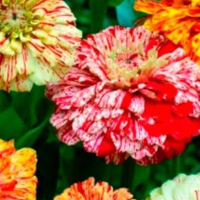 Varetype: Frø Størrelse: - Farve: Ukendt  Dette er en af mine yndeligs sommer blomster. Jo mere man skær af jo flere knopper sætter den, den blomstre fra juni til oktober. Den bliver ca 60cm høj - nogen vil også kende den som frøkenhat. Denne blanding består af mange forskellige farvede blomster der er dekoreret med stænk - virkelige flotte i haven og bier samt sommerfugle er vilde med dem. Så dybden skal ikke være for dyb - ca 0,5cm. Planten bliver ca 60cm høj. Kan forspires indenfor i marts-april måned og planter ud i maj men man kan også så direkte på friland i maj. Frøkenhat trives på en solrig vokseplads. Frøene er pakket i kaffefiltre så de kan ånde.  Gratis forsendelse med  b-post. Betaling med paypal, konto overførsel eller mobilepay eller ts.