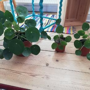 Pilea plante. 15 kr. For de små og 30 kr. For den store.