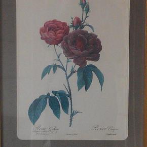 Brand: Pierre-Joseph Redouté Varetype: Litografier roser Størrelse: 33x43 Farve: flere  Pierre- Joseph Redoute 1759-1840. Belgisk maler og botaniker. prisen er pr. stk.
