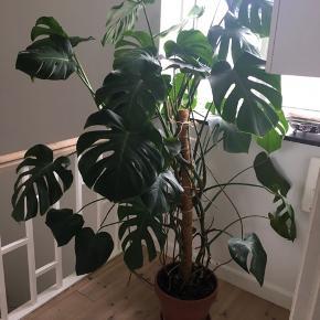 Monstera plante. Velholdt. Den måler cirka 160 cm. Potten medfølger.