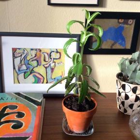 Sukkulent Nilgud plante i ler-urtepotte (som måler ca. 9x10 cm.) Uden underskål.  Billede 2 er hvordan Nilgud planter kan se ud.  Selve planter er ca. 25 cm.  Fast pris.   Mødes og handle på Nørrebro i området: Runddelen, Jægersborggade og Stefansgade.  Bytter ikke.