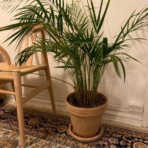 Smuk stor plante sælges.  Uden potte 150  Med potte 250