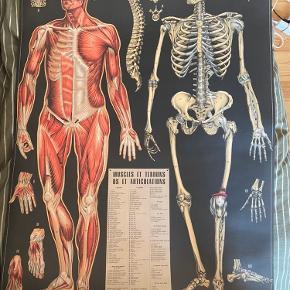 Sælger denne anatomi plakat