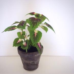 Paletblad plante i ler-potte (som måler ca. 14 x 12 cm.)  Er sund og i god vækst. Kan blive lige så stor eller større som billede 3 og 4 (Sælges ikke)  Fast pris på det nette sum af 65 kr. - med i prisen er underskålen.  Sender og bytter ikke.  Annoncen bliver slettet når solgt, så ingen grund til at spørge om dette.  Useriøse henvendelser frabedes.