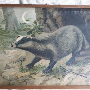 Vintage polsk (?) skole-planche med grævling.  Små revner i den ene kant men ellers i rigtig fin stand 🤩