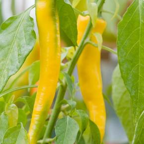 Chili - Golden Cayenne - 15frø  En meget flot gul chili, den gule farve er virkelig smuk. Denne sort giver slanke, op til 10cm lange frugter. Den er stærkere en den almindelige Cayenne chili og mere glat. Den modnes fra grøn til den smukke gule farve. Dens smag er meget frugt agtig - der er undertoner af melon men stadig med den gode styrke! Planten bliver ca 60cm høj og har det bedst indendøre. Scoville unite: 30.000-40.000 Chili og peberfrugter sås på samme måde. En så dybde på 0,5 er fin og dækkes let. En god varme er også vigtig for at få frøet igang 27 - 32 grader nogen sorter skal have mege varme. De skal startes tidligt hvis man ønsker at få modne frugter samme år, jeg starter allerede med at så slut december, men man kan så helt til april måned. Når man har sået frøet må det ikke på noget tidpunkt tørre ud, da dette kan stoppe spiringen.  Når planterne har fået det andet rigtige sæt blade skal de pottes om så de hele tiden har plads til at udvikle deres rodnet. Start maj kan de plantes ud på deres blivestedet. Enten i drivhus / vækst hus eller i stor potte et lunt sted i haven. Men man kan sagtens have dem stående pg så dem i vindueskarmen året rundt - det er flerårige planter det kan dyrkes som alle andre stueplanter. Frøene er pakket i kaffefiltre så de kan ånde.  Gratis forsendelse med  b-post. Betaling med paypal, konto overførsel eller mobilepay.  Chilifrø - chili frø - chili plantet - chiliplanter - have - drivhus -