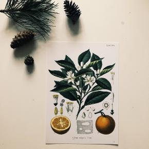 """A4 poster af """"Franz Eugen Köhler - Medizinal-Pflanzen"""" bog. Jeg har 7 typer i mine annoncer.  Jeg kan sende den for 9 dkk / stk. eller for 18 dkk / 2 stk. eller mere.  Pick-up: Aalborg C"""