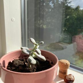 Fin lille succulent (pachyphytum oviferum) med lyserød potte ☺️ (uden potte: 25kr).  Kan ikke sendes med posten, men kan bringes ud i Københavns området!