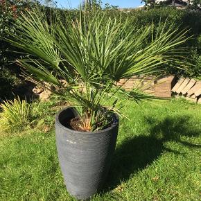 Stor fin palme enten til udendørs eller indendørs. Tåler ikke frost. Inkl. krukke.