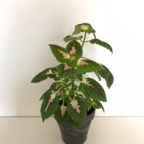 Paletblad plante i ler-potte (som måler ca. 14 x 12 cm.)  Er sund og i god vækst. Kan blive lige så stor eller større som billede 4 og 5 (Sælges ikke)  Fast pris på det nette sum af 60 kr. - med i prisen er underskålen.  ~ pris uden underskål: 50 kr.  Sender og bytter ikke.  Annoncen bliver slettet når solgt, så ingen grund til at spørge om dette.  Useriøse henvendelser frabedes.