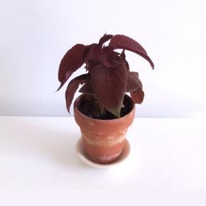 Paletblad plante  i ler-urtepotte (måler ca.: 9x9 cm.) -og hvid ler underskål.  Planten kan blive lige så stor eller større som billede 2. (Tryk på billedet - Sælges ikke)  vokser godt , elsker vand og sol - men behøver ikke stå direkte i et vindue.  Prisen er fast på 40 kr. inkl. lerpotte og underskål.  Sender og bytter ikke.       Annoncen slettes når solgt, så ingen grund til at spørge om dette 🙂  Useriøse henvendelser frabedes.