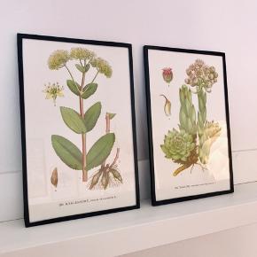 To billeder af flotte planter klar til ophæng. Rammen består af tykt, sort tape. Hver billede måler 23,5 x 15 cm. Prisen er for begge.
