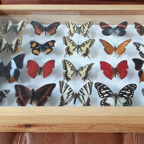 Smuk samling af sjældne, farverige sommerfugle, sælges. Yderst dekorative. Kan både stå og hænge.