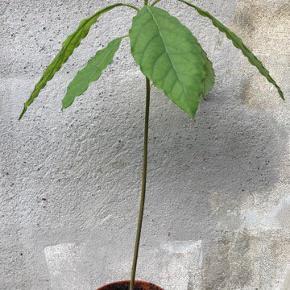 Smuk økologisk avokadoplante 6 måneder gammel🌱🌺 Sælges uden potte og kan afhentes på østerbro🦎