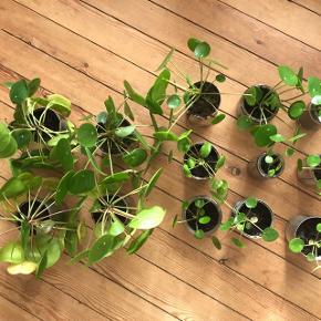 Pileaplanter. De fire store koster 15 kr pr stk, de andre 10 kr pr stk. Kan afhentes i Horsens