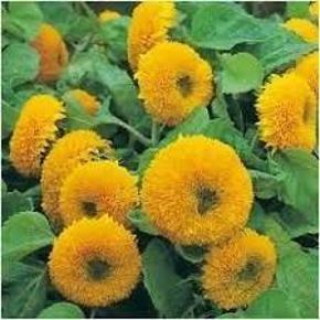 """Varetype: teddy bear solsikkeStørrelse: ukend Farve: gul  En dværg, multi-headed solsikke producerer en overflod af ekstraordinære blomster. En yndig tilføjelse til terrasser eller grænser og fantastisk til skæring også. Højde 40-60cm (16-24 """"). HA - Hardy årlig.  Let at dyrke og en rigtig favorit med børn. Brug kronblade og frø i salater og kager.  I 2015 testede RHS Sunflowers og tildelte dette produkt Award of Garden Merit, de sagde om denne sort - slående dobbelte, store hoveder, rige gul-orange, floriferous, der fungerede godt i lang tid.  Så under glas marts-april og udendørs april-juni for blomster juli-september.  30 frø"""