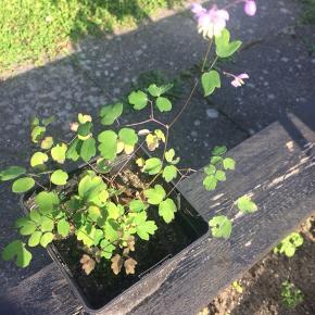 Fin Violfrøstjerne, som er en staude. Den kommer med fine lilla blomster henover sommeren og den kan blive høj. Den sår ligeledes nemt sig selv. Billede nr 2 viser planten efter et par år