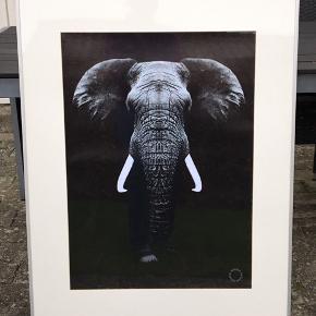 Sælger disse 2 flotte dyreplakater af en elefant + løve inkl alu ramme og passepartout. Plakaterne er 50x70. Alu-rammerne og passepartouterne er 70x100. Sælges kun samlet, 500kr for begge 2. SENDES IKKE, afhentes i 2990 Nivå, kan leveres mod 50kr i betaling, hvis man bor i nærheden af Nivå. Kommer fra et ikke ryger hjem