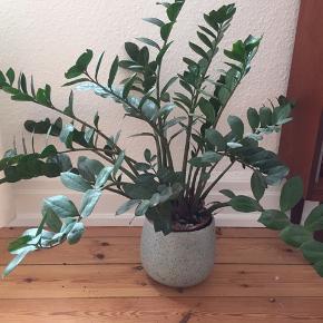 Smuk plante sælges grundet flytning. Krukke følger ikke med 😊