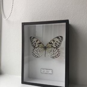 Fin indrammet sommerfugl der kan hænges op på væggen. Købt i London. Mål: 20x15x6 cm