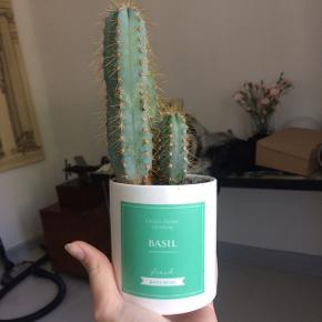 Smuk kaktus er 3 år gammel. Potten følger ikke med