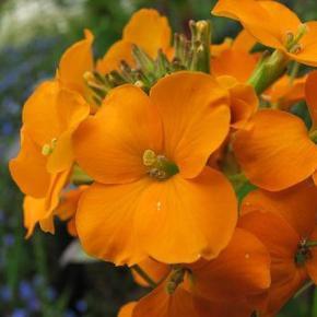 Gyldenlak - Cloth of gold - 100frø En skøn og meget populær bed plante der giver flotte ensartet blomster. Cloth of gold har som navnet siger gyldne orange farvede blomster. Selve planten bliver op til 30-40cm høj. Det er en meget duftende blomst og også derfor man skal dyrke dem. Det er en toårig plante - dette vil sige at det første år kommer der kun grønne blade. Året efter eksplodere den med flotte duftende blomster.  Så dem på voksestedet i maj - juni måned.   Frøene er pakket i kaffefiltre så de kan ånde. Gratis forsendelse med b-post. Betaling med paypal, konto overførsel eller mobilepay.