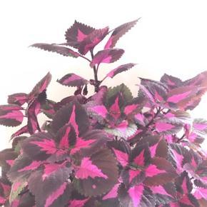 Paletblad plante i ler-potte (som måler ca. 12 x 10cm.)  Er sund og i god vækst. Kan blive lige så stor eller større som billede 2. (Tryk på billedet for fuld størrelse - Sælges ikke)  Fast pris på det nette sum af 45 kr. - sælges uden underskål.  Sender og bytter ikke.  Annoncen bliver slettet når solgt, så ingen grund til at spørge om dette.  Useriøse henvendelser frabedes.