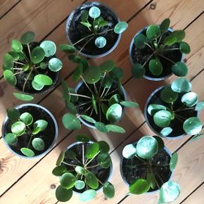 Pilea planter i plastpotte sælges.  Mål på plastpotten er 13cm dia og 10cm høj.  35kr pr plante, prisen er fast. Afhentning i Valby.  Kun seriøse henvendelser.