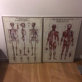 2 dejlige anatomiplakater!! Én med skeletsystemet og én med muskelsystemet.   Samlet pris er 500 kr.  Mål: 70 cm x 100 cm  Begge plakater er på både engelsk, fransk og spansk.   Rammer medfølger, disse er ikke i den bedste kvalitet og er lidt slidte. Plakaterne i sig selv fejler intet!