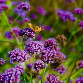 Verbena, kæmpe- lilla - 20frø Verbena Bonariensis PÅ dansk bliver den også kaldt for jernurt. Når man kalder den kampeverbena eller kæmpejernurt er der også en grund til det. Den danner en stængel der blive top til 1,5meter høje hvor de lilla skærme af små blomsterskyer svajer. Selvom blomsterstænglerne er så høje og tynde hat de på ingen måder brug for opbinding. Den har en lang blomstring dog kan den nogen år starte lidt sent, fra august til den første frost. Det er en blomst der tiltrækker en del sommerfugle men også bier og andre nytteinsekter. Det er en plante der kan kan opføre sig både som en etårig eller flerårig plante men den sår sine frø i haven så har man haft den en gang vil man have den år efter år - dog uden den bliver et problem i haven. Det er en kuldekimer det vil sige at frøene skal såes tidligt i en bakke eller potte og stilles udenfor så du får en kulde periode på to ugers tid. Har man ikke mulighed for det kan man, drysse frøene ud på køkkenrule, fugt det, put det i en pose og i køleskabet. Efter to uger drysses frøene ud i potter med meget tyndt lag jord. Men det nemmeste er at så i potter og stil dem udenfor. I Naturen klare de det fint selv når frosten kommer. Det kan virke lidt bøvlet men det belønner sig med denne smukke blomst og som sagt den selvsår sig selv så man behøver ikke gøre dette mere end en gang. Frøene er pakket i kaffefiltre så de kan ånde. Gratis forsendelse med  b-post. Betaling med paypal, konto overførsel eller mobilepay.