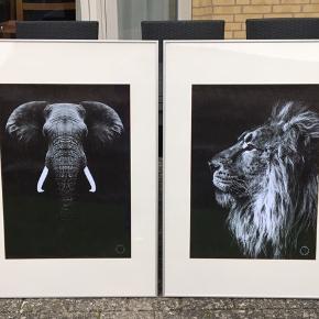 Sælger disse 2 flotte dyreplakater af en elefant + løve inkl alu ramme og passepartout. Plakaterne er 50x70. Alu-rammerne og passepartouterne er 70x100. Sælges kun samlet, kom med et bud, mindste pris 600kr. SENDES IKKE, afhentes i 2990 Nivå. Kommer fra et ikke ryger hjem