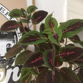 🦚💚🌱stiklinger 🌱💚🦚 15kr for en stikling fra denne hurtig voksende plante