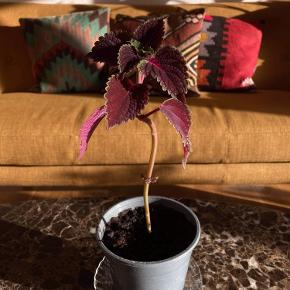 Coleus/platfod stikling  Dejlig nem plante med potentiale til at blive kæmpe stor. Sidste billede er fra moderplanten jeg har klippet ned og sælger fra. Dvs. der er flere hvor de kommer fra :))  15 kr