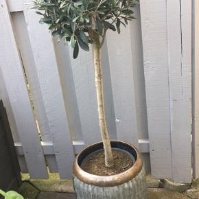 Oliventræ med potte. Potten er ca. 70 cm høj Oliventræet er ca. 80 cm højt