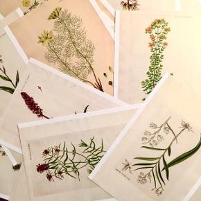 Har en masse af disse fine Flora Danica plakater 🌿🌼 De passer i rammer med målene 30x21 cm.Prisen er 30 kr. pr. stk. Spørg endelig hvis du leder efter en specifik blomst. De kan sendes for 10 kr. med post nord.
