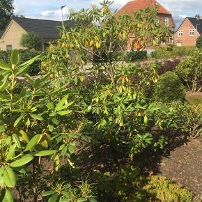 2 stk. Rhodendron buske sælges. Farve: lilla/ lyserøde🌸 Pris: 50kr. pr stk - begge for 75kr. Størrelse:  CA 1,5 m høj og 2,2 m høj  Graves selv op og afhentes