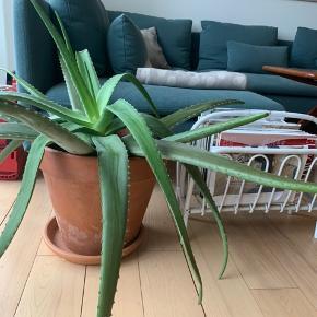 Kæmpe stor Aloe Vera med diameter på nuværende tidspunkt på 1 meter. Skyder rigtig meget og har lige haft en blomst.🌱 Potte er 32cm høj og 35cm i diameter.