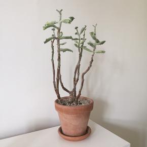 Fin plante fra Plant København. Stor terracottakrukke med sten medfølger.
