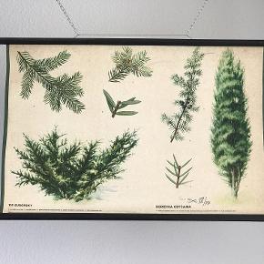 Skoleplakat af nåletræer. Czechoslovakiet 1971 Flot dekorativ retro skoleplakat 83 x 58 cm