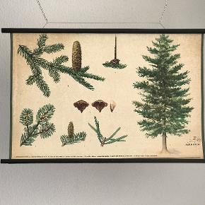 Skole plakat af nåletræer. Czechoslovakiet 1971  Flot dekorativ retro skoleplakat.  83 x 58 cm