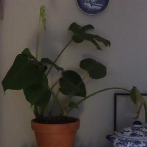 Smuk Monstera plante + krukke m. underskål sælges.