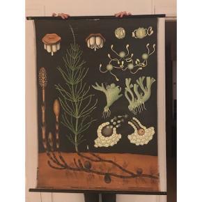 Super dekorativt botanisk undervisningskort fra DDR. Motiv: En agerpaderok, og hvordan denne formerer sig (spreder frø). b: 120, h: 90.