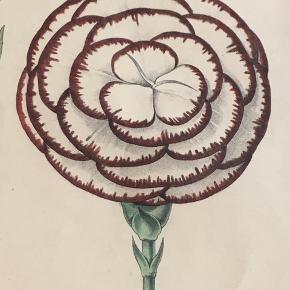Fint gammelt tryk fra botanisk værk. Motivet er picotee nelliker. Trykt i London. Bredde 26cm, højde  30,5,  Vintage