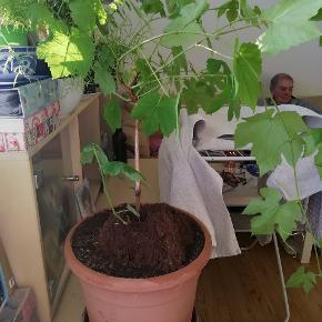 Vinplanter med jord og potter. 50 kr pr stk