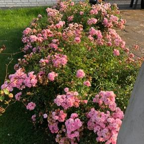 Fairy bunddække roser sælges for 30 kr stk har 18 stk   De er nemme at flytte graves op ved afhentning  Er i Biersted