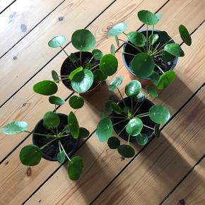 Pilea planter i plastpotte sælges. Mål på plastpotten er 13cm dia og 10cm høj.  35kr pr plante, prisen er fast. Der følger ikke en lerpotte med men plastpotte som de står i. Afhentning i Valby.  Kun seriøse henvendelser.